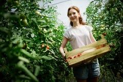 Młody uśmiechnięty rolnictwo kobiety pracownika działanie, zbiera pomidory w szklarni obrazy royalty free