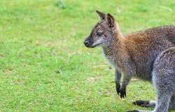 Młody Wallaby Outdoors zdjęcia royalty free