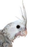 Młody whiteface cockatiel głowy zakończenie zdjęcia royalty free