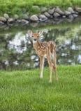 Młody whitetail źrebię Zdjęcia Royalty Free