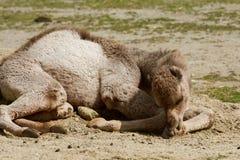 Młody wielbłądzi lying on the beach na ziemi Zdjęcia Stock