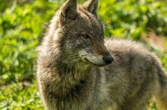 Młody wilczy zakończenie (Canis lupus) Obraz Royalty Free