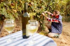 Młody winemaker żniwo winogrono przy jego winnicą obraz royalty free