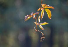 Młody winograd liściasty bluszcz z kędzierzawymi tendrils obrazy stock