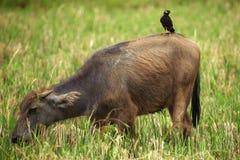 Młody wodny bizon Obrazy Royalty Free