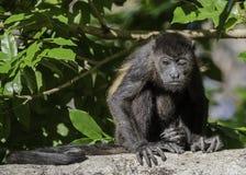Młody wyjec małpy obsiadanie i mrugać zdjęcia stock