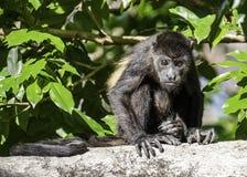 Młody wyjec małpy obsiadanie na gałąź zdjęcia royalty free