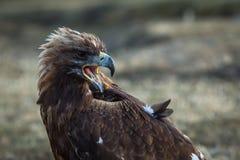 Młody złoty orzeł w Mongolskim stepie Natura Fotografia Stock