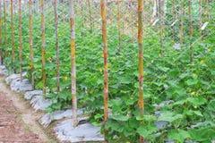 Młody zima melonu organicznie drzewny dorośnięcie w gospodarstwa rolnego lub benincasa hispida natury tle obraz stock