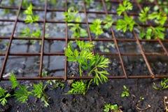 Młodych rośliien rozsady marchwiane Fotografia Stock