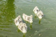 Młodzi łabędź na Danube rzece jako kontrasta obrazek Obraz Royalty Free