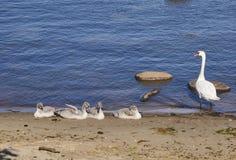 Młodzi łabędź na morzu Zdjęcie Royalty Free
