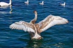 Młodzi łabędzi łopotań skrzydła Obrazy Stock