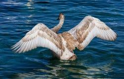 Młodzi łabędzi łopotań skrzydła Obraz Stock