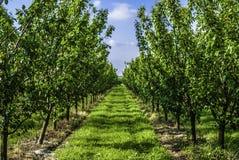 Młodzi śliwkowi drzewa w surowym Fotografia Stock