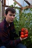 młodzi średniorolni pomidory obrazy stock