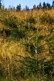 młodzi świerkowi drzewa Zdjęcia Royalty Free