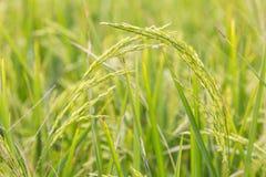 Młodzi świezi ryż Obrazy Royalty Free