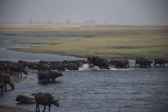 Młodzi Afrykańskiego słonia byka cyzelatorstwa bizony Fotografia Stock