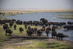 Młodzi Afrykańskiego słonia byka cyzelatorstwa bizony Obrazy Stock