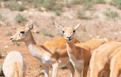Młodzi antilopes Zdjęcia Stock