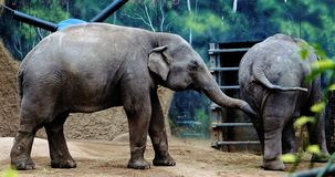 Młodzi azjatykci słonie w zoo zdjęcie stock