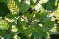 Młodzi Blackberry liście w w górę ogródu fotografia stock