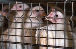 Młodzi broiler kurczaki siedzi w klatce na kurczaka gospodarstwie rolnym, w górę, młodzi zwierzęta zdjęcie stock
