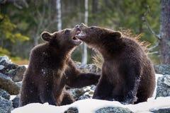 Młodzi Broown niedźwiedzie, Ursus arctos są przyglądający co robić Trwanie młodzi niedźwiedzie są walczący lub bawić się w lesie  obraz stock