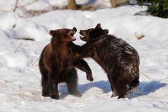 Młodzi brown niedźwiedzie bawić się Obraz Royalty Free