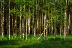 Młodzi brzoz drzewa w wiosny świetle słonecznym Obrazy Royalty Free