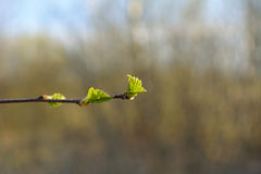Młodzi brzoza liście Fotografia Stock