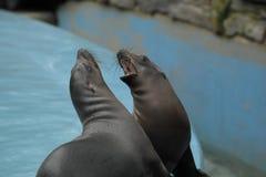 Młodzi California denni lwy ryczą głośno na krawędzi pływackiego basenu zdjęcia stock