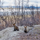 Młodzi czerwonego lisa szczeniaki przy ich meliną Yukon Kanada Obrazy Royalty Free