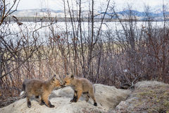 Młodzi czerwonego lisa szczeniaki przy ich meliną Yukon Kanada Fotografia Royalty Free