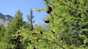 Młodzi czerwoni rożki cedr zbiory
