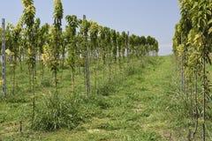 Młodzi drzewa w rzędach Obraz Stock