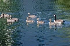 Młodzi gąsiątka Pływa Przez jezioro Obrazy Royalty Free