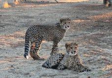 Młodzi gepardów bliźniacy Fotografia Stock