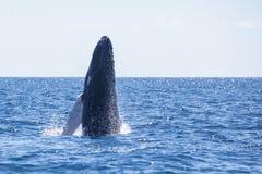 Młodzi Humpback wieloryba pogwałcenia Z Karaiby zdjęcia stock