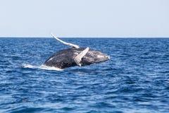 Młodzi Humpback wieloryba pogwałcenia Z morza karaibskiego obrazy royalty free