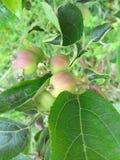 Młodzi jabłka na gałąź Obrazy Royalty Free