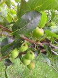 Młodzi jabłka na gałąź Zdjęcie Royalty Free