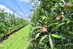Młodzi jabłka w sadzie podczas wiosny Zdjęcia Royalty Free