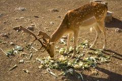 Młodzi jeleni łasowań warzywa Żeński renifer i męski rogacz a, fotografia stock