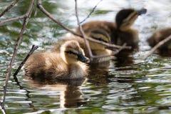 Młodzi kaczątka w naturze Fotografia Stock