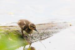 Młodzi kaczątka w naturze Obraz Stock