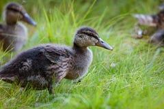 Młodzi kaczątka w naturze Zdjęcia Stock