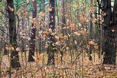 Młodzi klonowi drzewa w jesień lesie fotografia stock