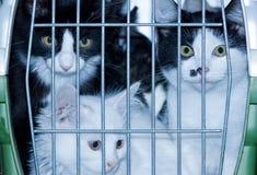 Młodzi koty w pudełku Obrazy Royalty Free